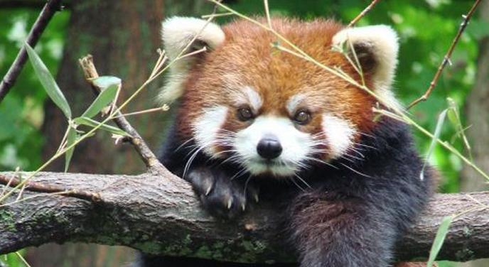 Картинки по запросу Красная панда из зоопарка Белфаста