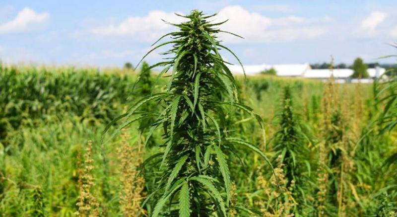 Коноплю конопля вредная трава i